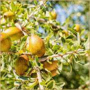 argan nut oil