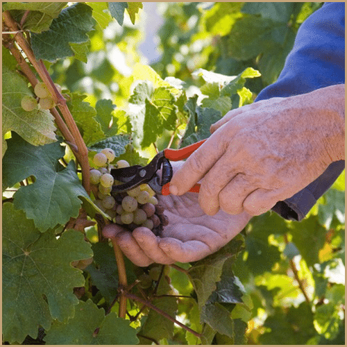 hand cutting grape from vine
