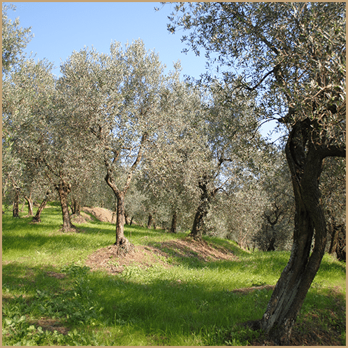 Montalbano Olive Groves