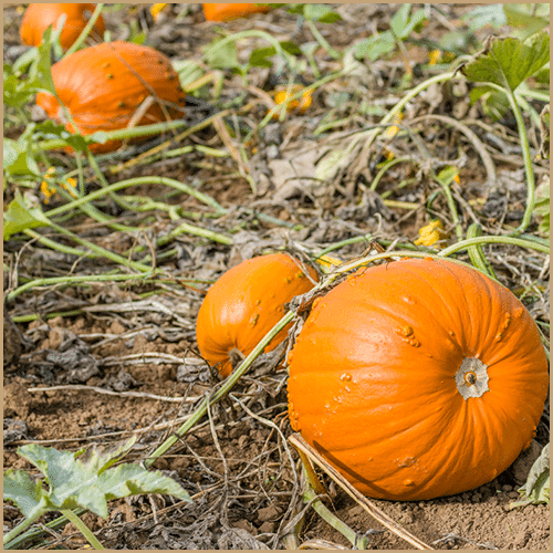 Pumpkins growing in a field